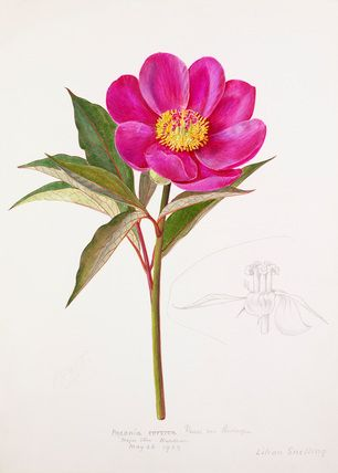 Lilian Snelling -- Paeonia russoi var. leiocarpa -- Peony -- View By Flower -- RHS Prints
