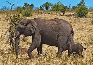 """Foto: """"Siga mamá!""""  El elefante africano es el mayor animal terrestre vivo.  El cuidado amoroso tierno prodigado en bebés elefantes es uno de los más entrañable característica de la especie.  Los terneros lo suficientemente pequeños para pasar por debajo de la madre (primer año) permanecen en contacto consant.  Peso al nacer c.  265 lb / 120 kg.  Los elefantes africanos (Loxodonta africana), el Parque Nacional de Chobe, Botswana, África © Konstantinos Arvanitopoulos Fotografía.  Todos los…"""