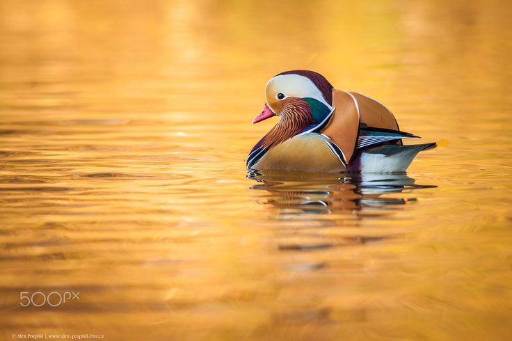 Mandarin ducks - null