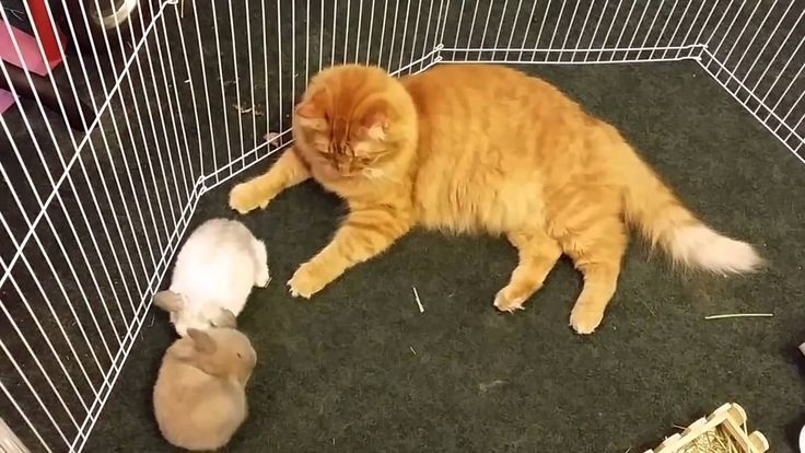 According to his owner, Mango is a very caring cat who absolutely loves to take care of the family kittens. In this instance though, he ended up jumping into...