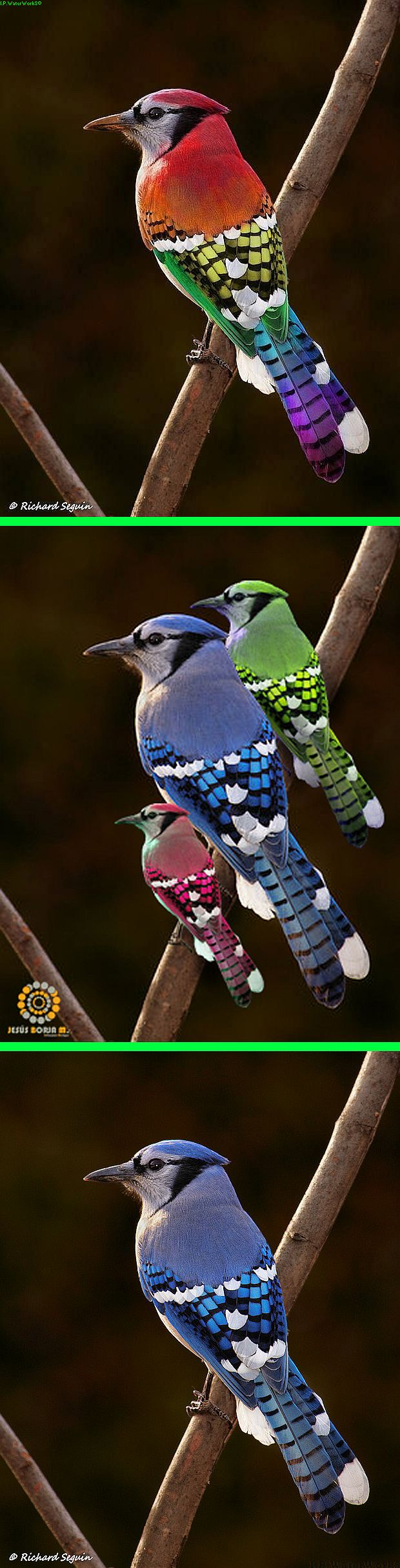 Fake - Rainbow Bird, etc. - The original image of a Blue Jay is on the bottom.