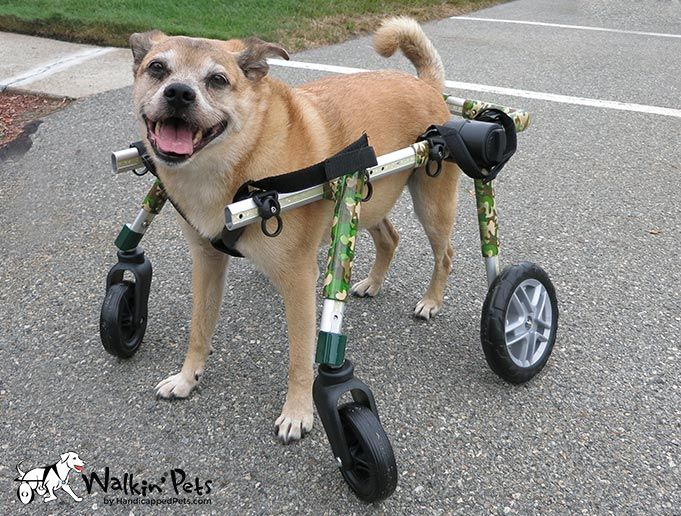 Why Paralyzed Dogs Get Pressure Sores and Hygromas Dog