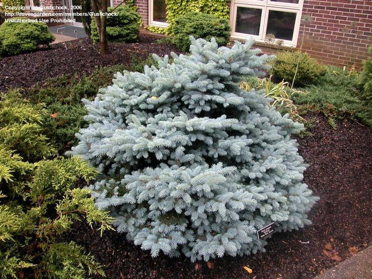 Full size picture of Colorado Spruce, Blue Spruce 'Glauca Globosa' (<i>Picea pungens</i>)