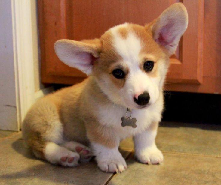 corgi chihuahua mix   Chigi (Corgi Chihuahua mix) Facts, Temperament, Training, Puppies, Pictures