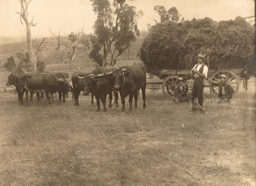 Samuel Sidney described the arrival of a bullock dray on the outskirts of Sydney during the early 1850s: