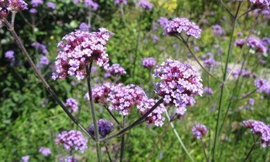 Kæmpe verbena har smukke lilla blomsterskærme på meter høje stængler.