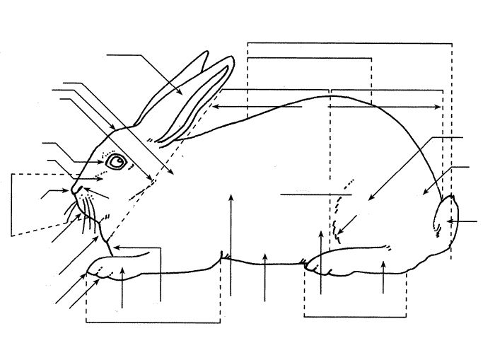 4h rabbit anatomy