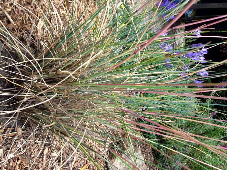 180 best grasses images on pinterest plant identification plants california fescue ornamental grass check out the free plant identification mobile app at gardenanswers workwithnaturefo