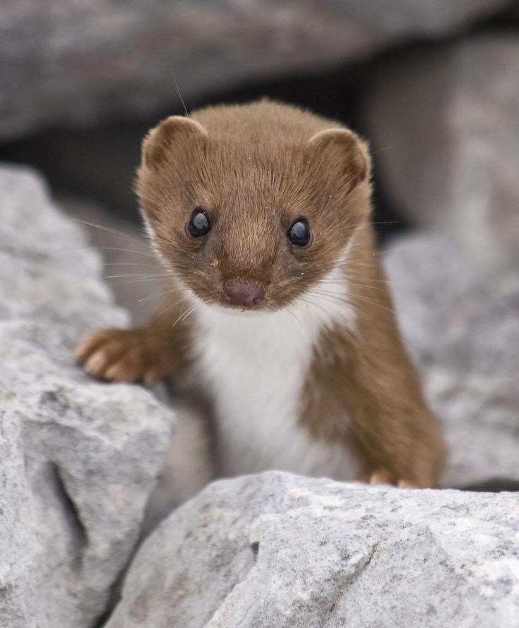 Adorables animales salvajes - comadreja