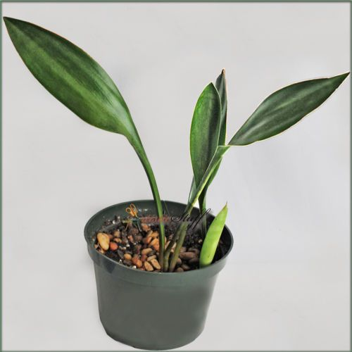 Sansevieria-Concinna-Red-RED-NECK-6-034-Pot-SNAKE-PLANT-POT5