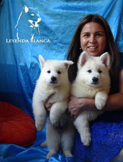 Cachorros Pastor Blanco Suizo www.leyendablanca.cl