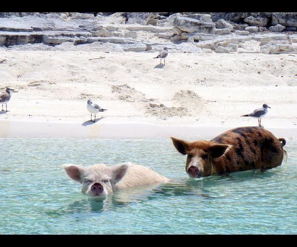 """Big major cay beach, Bahamas. Cette plage est également connue sous le nom de """"Pig beach"""". En effet, cette île désertée par les humains est le repaire de nombreux porcs sauvages. Pour l'anecdote, on dit qu'ils auraient été déposés par des marins désireux de les déguster, mais qui ne seraient jamais revenus."""