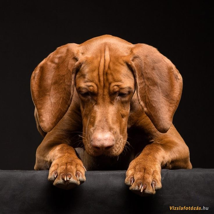 So beautiful! Vizsla