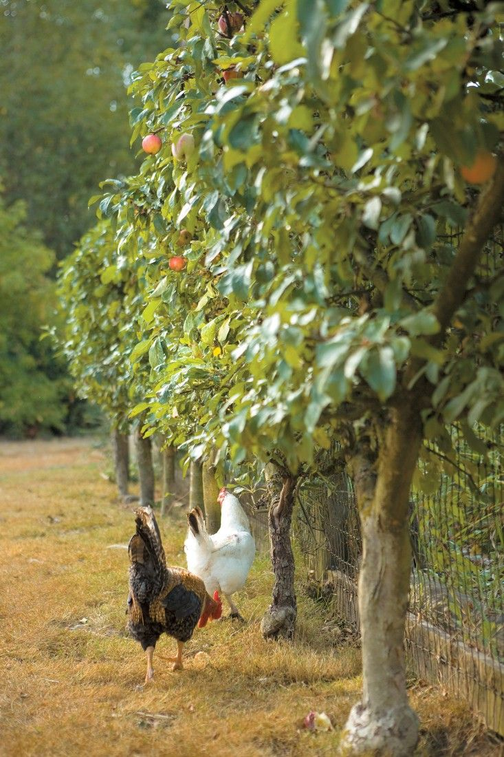 Apple trees are a recommended addition to a chicken garden, providing both food and shelter. Photo by Kate Baldwin.  (from Free-Range Chicken Gardens by Jessi Bloom)