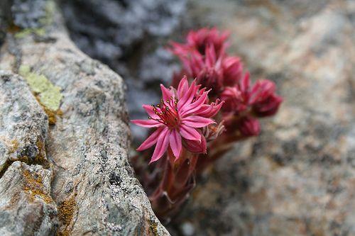 Flors | Vall de Nuria