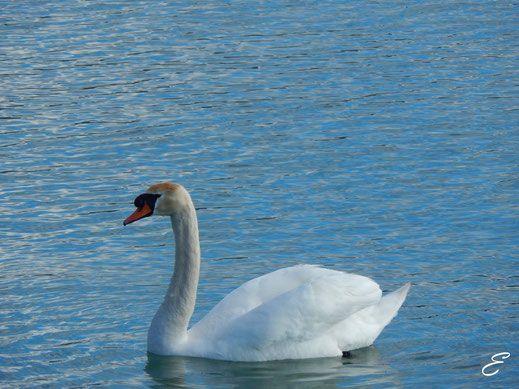 Schwan am Bodensee