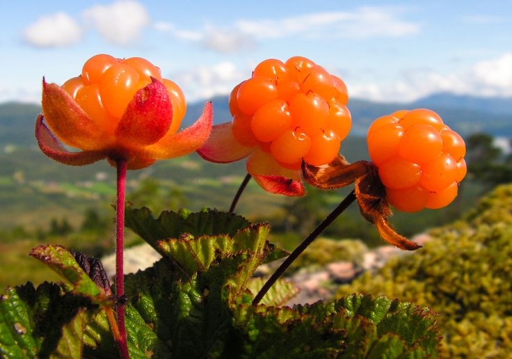 Cloudberries, You can only find them growing in the wild in Sweden and Norway. www.wildsweden.com