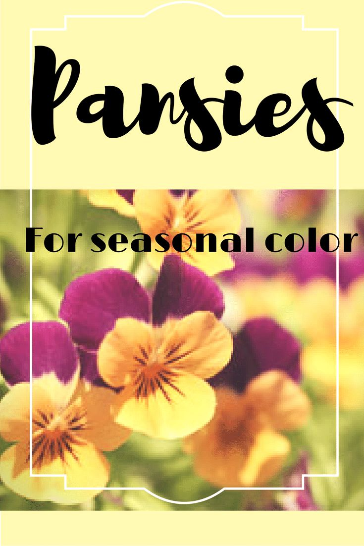 Brighten up your fall landscape with pansies.