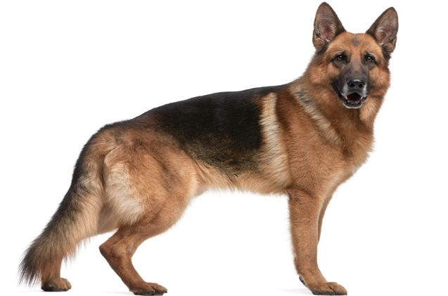What is it about German Shepherds that people love so much? Well, there's a lot, and it's not all about the fact that the breed makes great police dogs. Sometimes known as an Alsatian, the German Shepherd is one of the most renowned breeds of dog there is. German Shepherds are strong, loyal, and are [...]