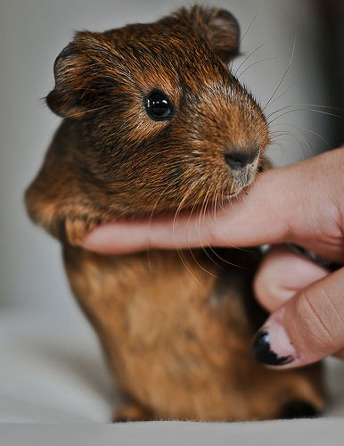 "My Guinea pig, Bruno (which means ""Brownie"" in Danish) 3 wks old 