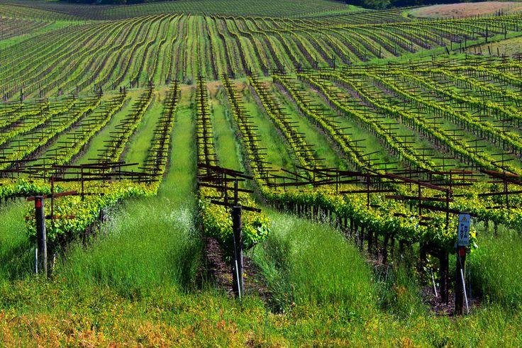Pinot Noir Grape Vines - Napa Valley  CAPinot Noir Grape Vines