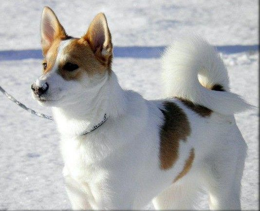 This Dog Is Very Similar To Trika This Is A