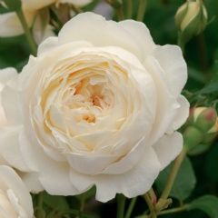 Claire Austin - White English Rose | Listen to our interview with Michael Marriott - Chief Rosarian with David Austin Roses on Rose Chat Radio. http://www.blogtalkradio.com/rosechat/2012/11/03/rose-chat-radio