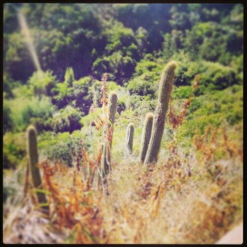 Cactus   cerca de la playa. Chile es bello litoral #mirasol #algarrobo la cueva del pirata