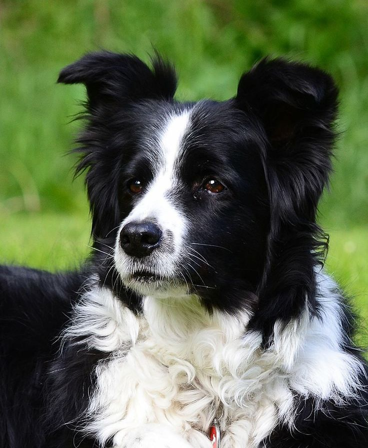 A beautiful Border Collie....