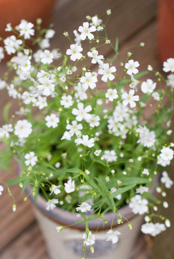 Gypsophila Elegans 'Covent Garden' from seed.