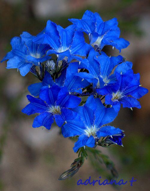 Lechenaultia biloba | Blue leschenaultia | W. Australia | by Adriana