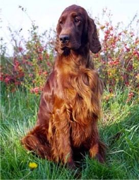 His name was Big Red - of course. Irish Setter..always wanted a red-headed dog, lol!!