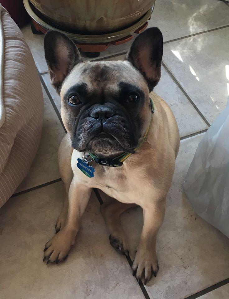 French Bulldog dog for Adoption in Katy, TX. ADN-501491 on PuppyFinder.com Gender: Male. Age: Adult