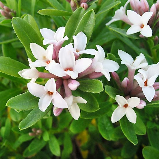 Eternal Fragrance' Daphne  A profusion of clustered pale pink blooms covers this compact shrub over many months. Plus, you get fragrance! The intensely scented blooms are lovely to enjoy from a porch container or as a patio edger.