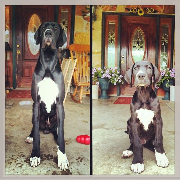 how time flies  zeus great dane male  left 12 months