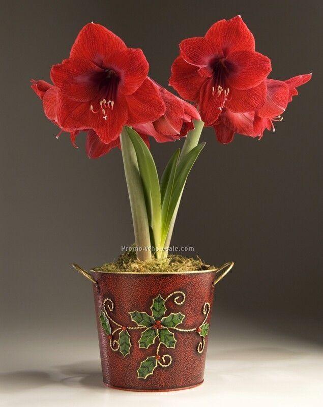 Amaryllis Ridderstjerne, Hippeastrum x hortorum, Amaryllidaceae Narsissfamilien, SNITT