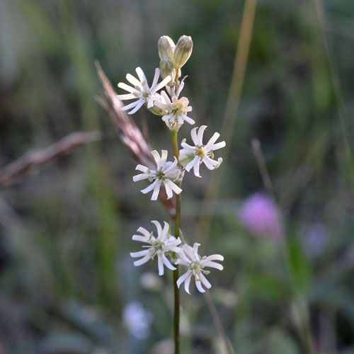 Silene graminifolia