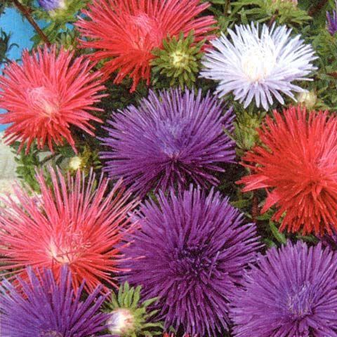 SOMMARASTER 'Starlight' i gruppen Ettåriga blomsterväxter hos Impecta Fröhandel (8175)