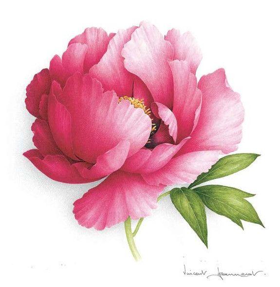 pfingstrose zeichnen blumen zeichnung, 247 besten peony flowers bilder auf pinterest   blumenbilder, Design ideen