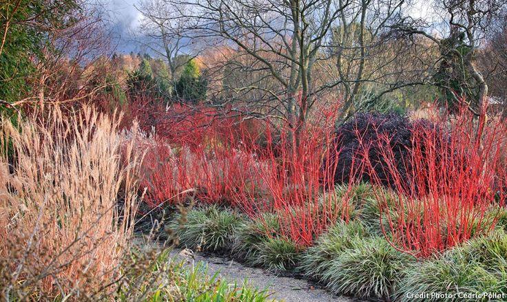Le jardin anglais d'Hillier n'hésite pas à jouer sur les graminées : les tiges rouges des Cornus alba 'Sibirica' contrastent à merveille avec les touffes vertes de Carex morrowii 'Fisher's Form', tandis que dans le coin gauche, sèche un pied de Miscanthus…