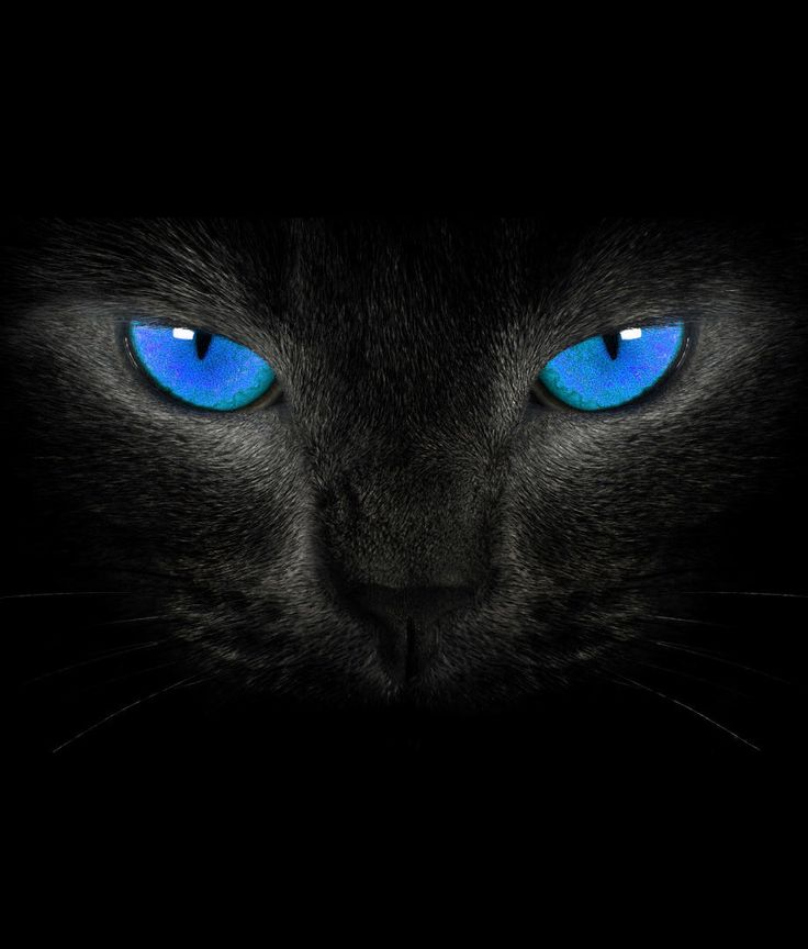 Blue eye's cat
