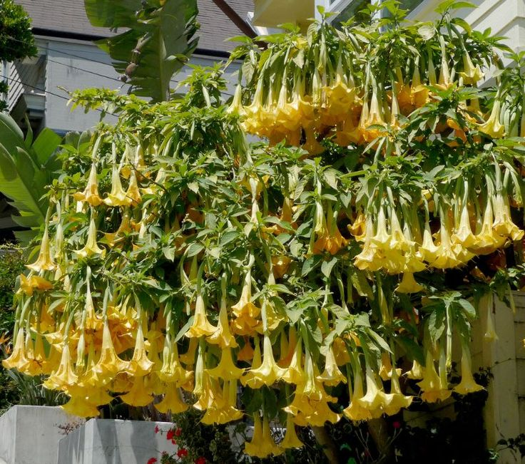 205 best a flower angel trumpet brugmansia datura vinca this summers most wanted plants big ol flowers brugmansia charles grimaldi by james gaither mightylinksfo