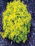 Arbuste compact, de forme arrondie. Les jeunes pousses sont teintées de rouge et deviennent jaune lime en été. Le feuillage vire à l'orange cuivré en automne. Fleurs en corymbes, rose pâle en juin juillet. Enlever les fleurs fanées stimule de nouvelles floraisons. La taille se pratique tôt au printemps. Plante intéressante pour son feuillage coloré.