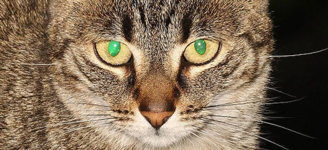 Eyeshine from the tapetum lucidum of a cat