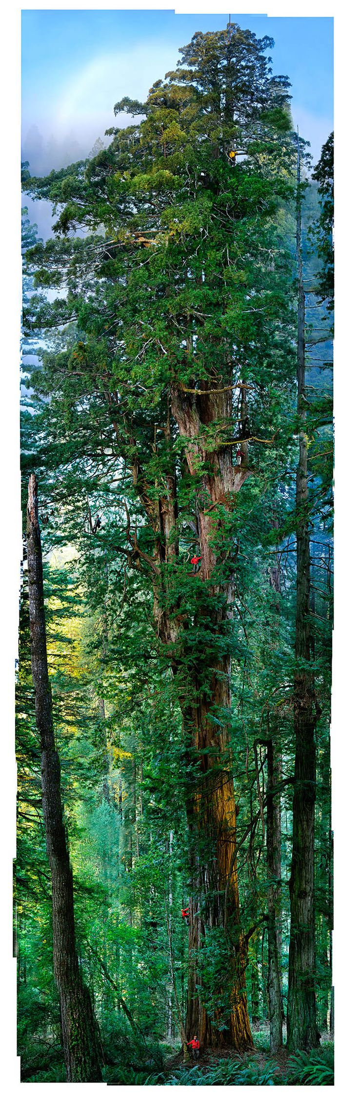 Full Sequoia Photo. National Geographic project: Nick Nichols.  Process: http://www.youtube.com/watch?v=C9LHjV48e9s