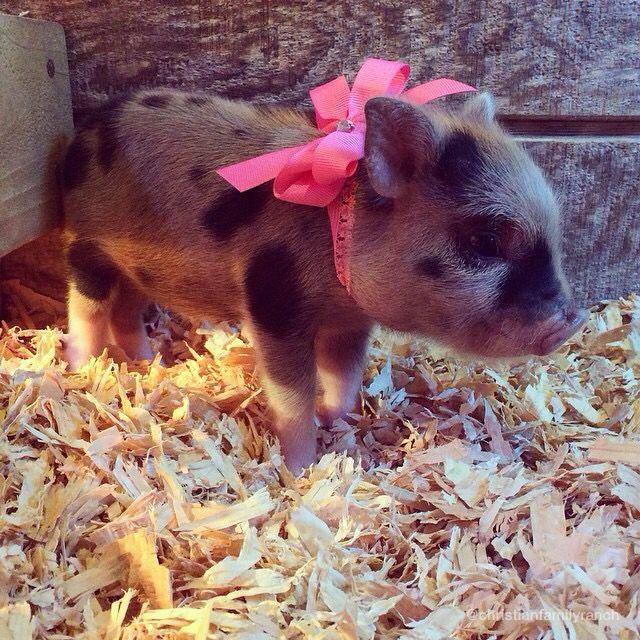 Miniature piglet