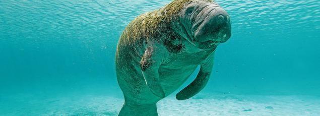 Les sirènes existent, ou presque, depuis la nuit des temps et avec elles, leurs ensorcelantes mélopées. Les lamantins et les dugongs existent depuis quelque 40 à 50millions d'années. Leur chant est semblable à une mélodieuse lamentation.