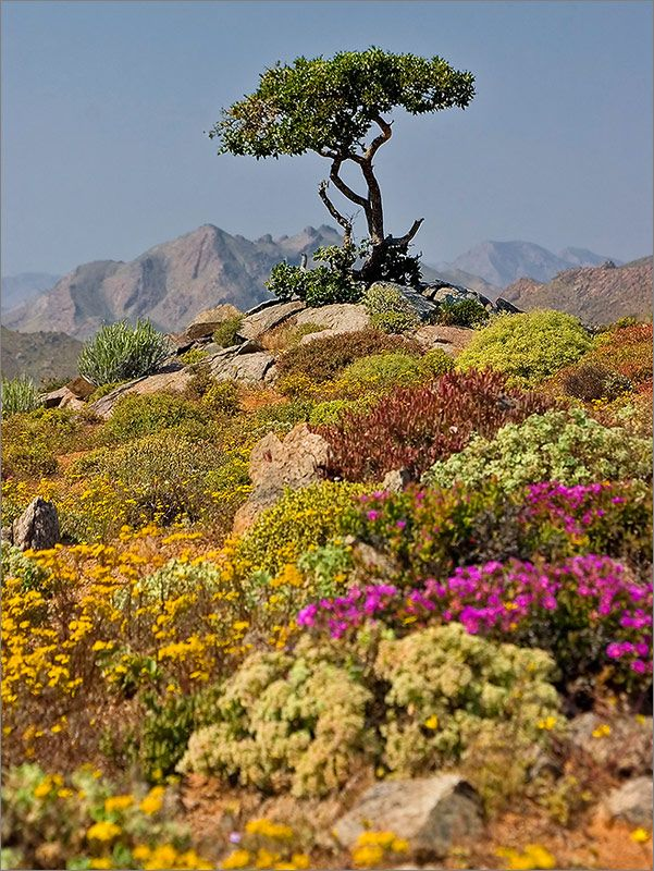 Beautiful Richtersveld - sometimes as dry as a desert, but a paradise of colour after the rain.