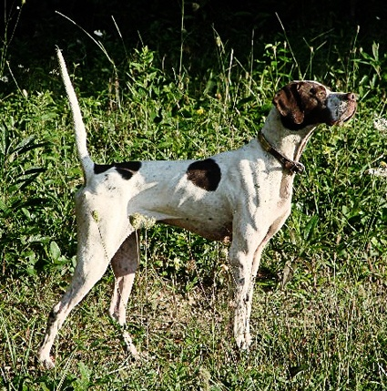 The English Pointer a combination of Foxhound, Bloodhound, Bull Terrier and Greyhound, the English Pointer often ranks at the top of the pointing breeds in performance. Mentioned as early as 1650.