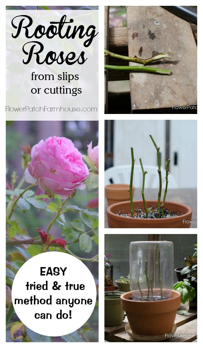 Learn how to root roses from cuttings or slips. A tried and true method that really works! Easy enough for beginners. Free plants, propagate with ease.